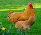 Nằm mơ thấy gà mái đánh con gì ăn chắc, có điềm báo gì