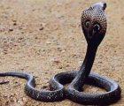 Mơ thấy rắn hổ mang điềm báo gì đánh số gì chắc trúng